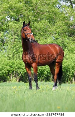 Beautiful sorrel horse - stock photo