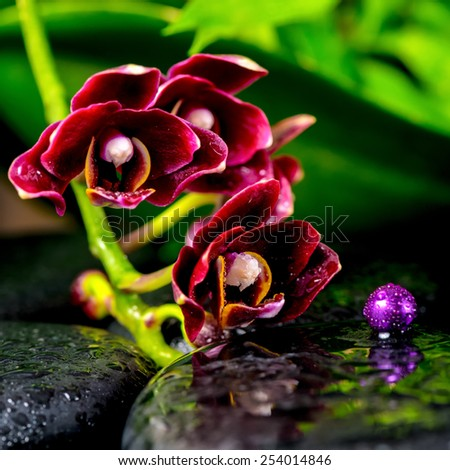 beautiful spa background of dark cherry flower orchid phalaenopsis, zen basalt stones with drops and lilac beads, closeup   - stock photo
