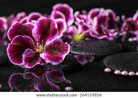 beautiful spa background of geranium flower, beads and black zen stones with drops in reflection water, Royal Pelargonium - stock photo