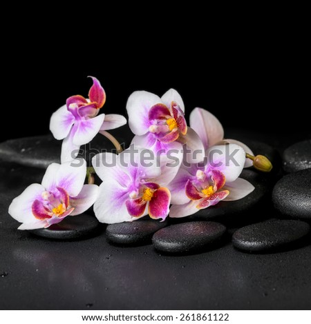 beautiful spa background of purple orchid phalaenopsis on black zen stones with drops,  - stock photo