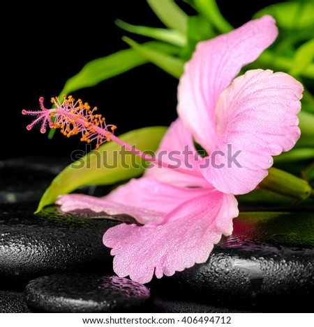 beautiful spa composition of pink hibiscus flower and twig bamboo on zen basalt stones with drops, close up - stock photo