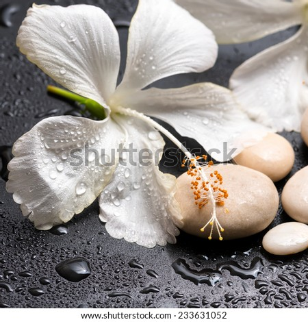 Beautiful spa concept of delicate white hibiscus and stones with drops on black background, closeup - stock photo