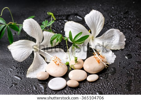 Beautiful spa concept of delicate white hibiscus, twig passionflower, stones with drops on black background - stock photo