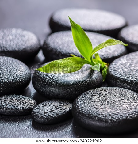 beautiful spa concept of green branch bamboo on zen basalt stones with drops, closeup - stock photo