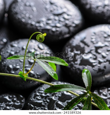 beautiful spa concept of green twig passionflower with tendril on zen basalt stones with dew, closeup - stock photo
