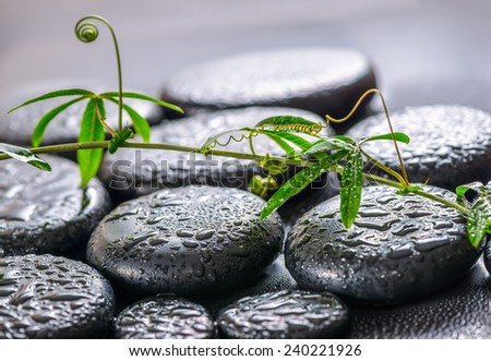 beautiful spa concept of green twig passionflower with tendril on zen basalt stones with drops - stock photo
