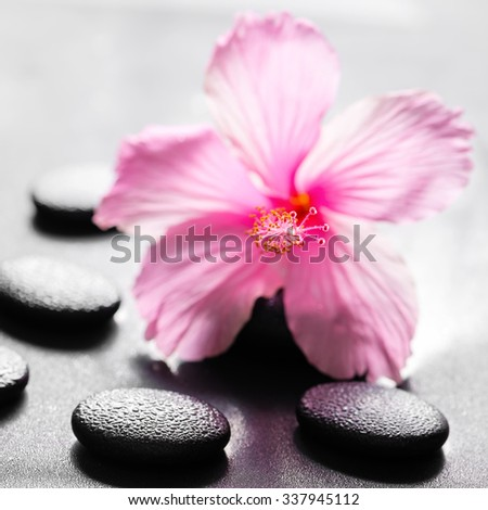beautiful spa concept of pink hibiscus flower on zen basalt stone with drops, closeup - stock photo