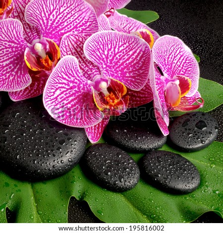 Beautiful spa concept of zen stones with drops, blooming twig of stripped violet orchid (phalaenopsis ) on the big green leaf, closeup - stock photo