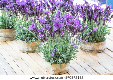 beautiful flowers in bamboo - French Lavender