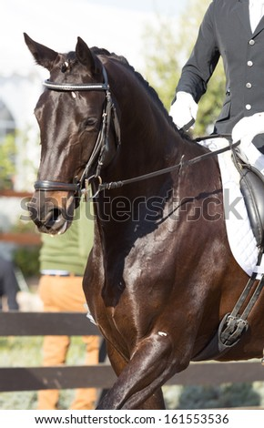 Beautiful Spanish horse color in outdoor exhibition