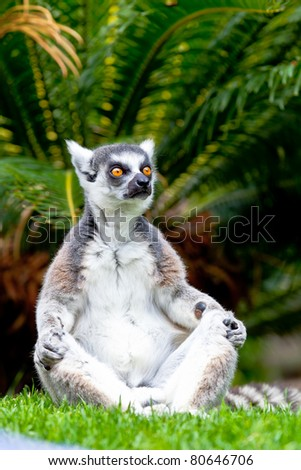 Beautiful specimen of Lemur of ring-shaped tail taking up a curious pose - stock photo