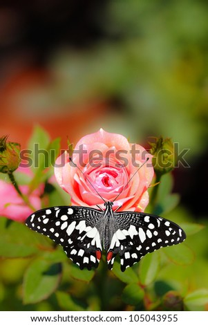 Beautiful spotted black and white colored butterfly on a pink rose flower.