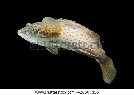 Beautiful spotted grouper fish/swimming rock cod fish/jump fish/tropical coral grouper fish on black/curve of fish/popular fish in seafood /giant fish species in growth  - stock photo