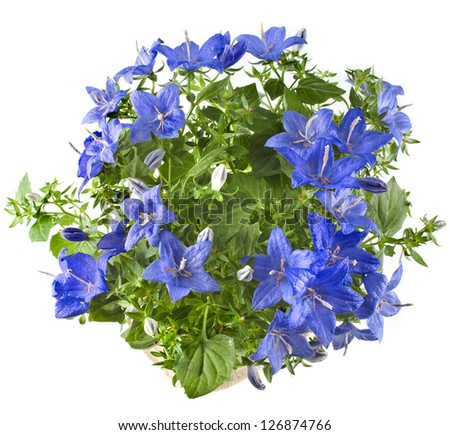 Beautiful spring bluebell flowers with copyspace isolated on white background - stock photo