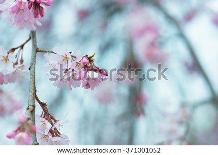 Beautiful spring cherry blossom with flower buds, early spring soft pastel blue background. Shallow depth of field. - stock photo