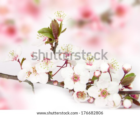 Beautiful spring cherry flowers in full bloom