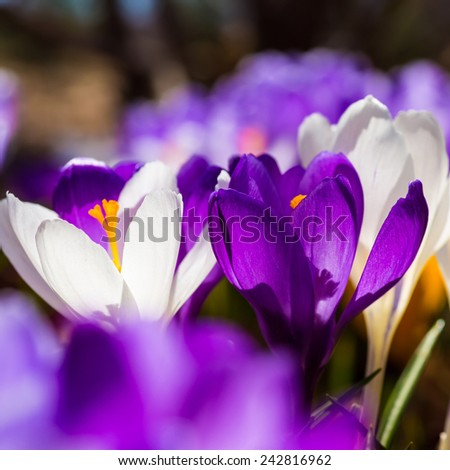 Beautiful spring crocus back lit in the home garden. - stock photo
