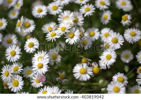 Beautiful spring daisies