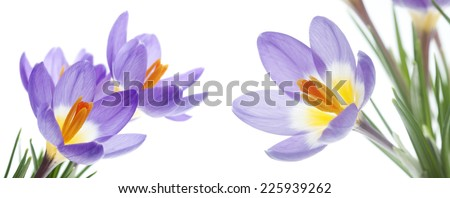 Beautiful spring flower Crocus Tricolor in the Iris family, macro with narrow focus - stock photo