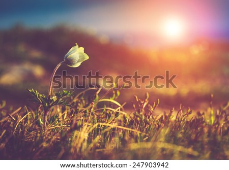 Beautiful spring flower pulsatilla  in the mountains, glowing by sunlight. Filtered image:cross processed vintage effect.  - stock photo