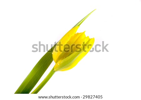 beautiful spring flower tulip on white background