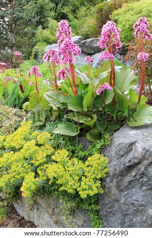 Beautiful spring flowering rock garden. Pink flowers are called Bergenia cordifolia or Elephant ears. Yellow ones are called Euphorbia polychroma or Spurge. - stock photo