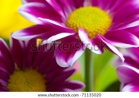 Beautiful spring flowers - chrysanthemum - stock photo