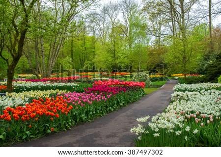Beautiful spring flowers in Keukenhof park in Netherlands (Holland)  - stock photo