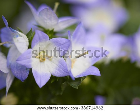 Beautiful Spring Flowers of Campanula - stock photo