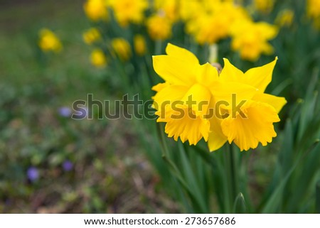 Beautiful spring flowers outdoors in nature, daffodils - stock photo