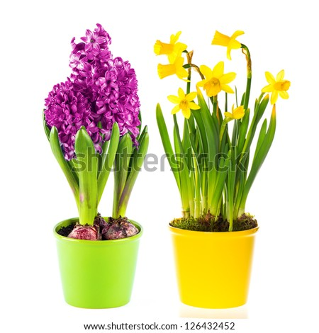beautiful spring narcissus and hyacinth flowers in pot on white background