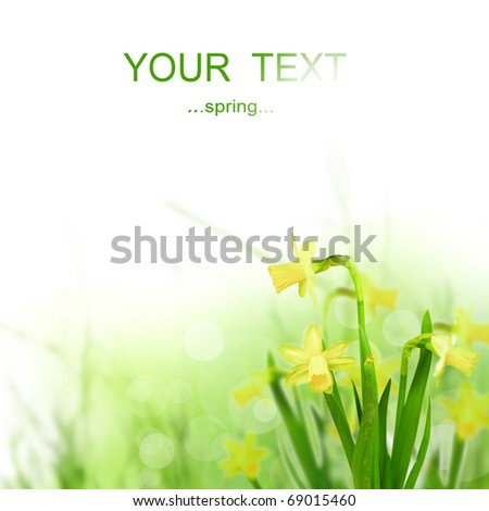 Beautiful Spring Narcissus Flowers - stock photo