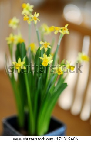 Beautiful spring narcissus flowers in pot on a table - stock photo