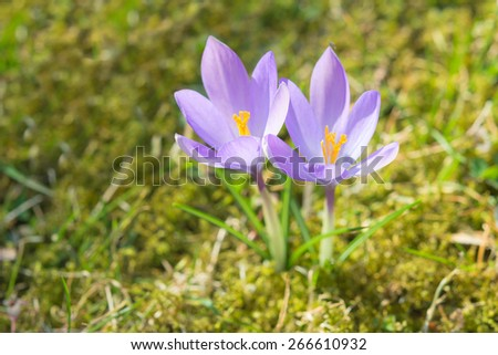 Beautiful spring sunlight crocus pastel flowers on sunshine Alpine meadow. Stock photo with shallow DOF and selective soft focus. - stock photo