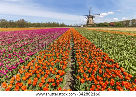 Beautiful spring tulip bulbs farm at Keukenhof and Lisse Dutch city, one of the famous tourist spot of Netherlands - stock photo