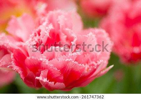 Beautiful spring tulip closeup. Bright pink flower. Macro with extremely shallow dof. - stock photo