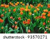 Beautiful spring tulip flowers. - stock photo