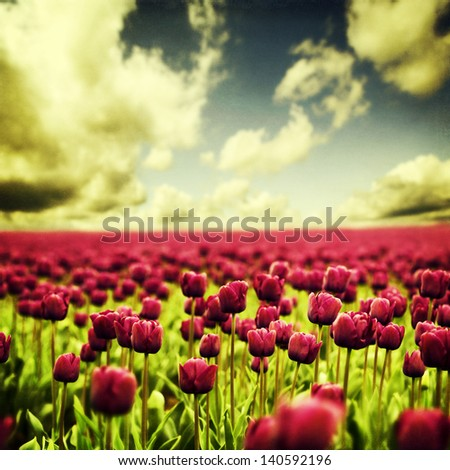Beautiful Spring tulips - floral background