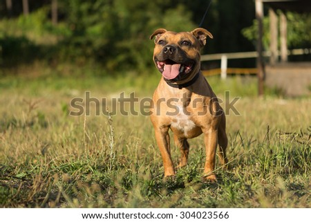 Beautiful staffordshire bull terrier posing in a park at the sunset