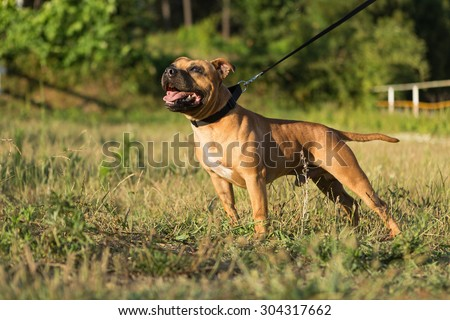 Beautiful staffordshire bull terrier posing in a park at the sunset - stock photo