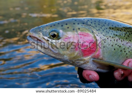 Beautiful steelhead trout caught while fly fishing