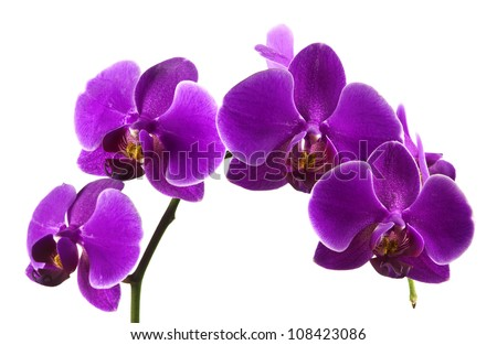 Beautiful stem of vibrant purple colored orchid flowers isolated on white background. - stock photo