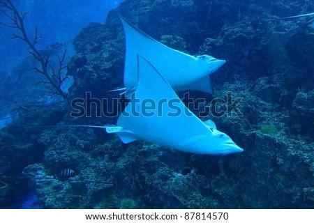 beautiful stingray - stock photo