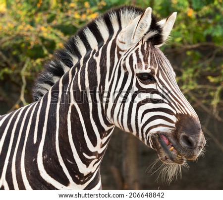 beautiful striped zebra from Africa - stock photo