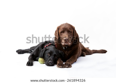 Beautiful, strong black and chocolate labrador retrievers lying down - stock photo