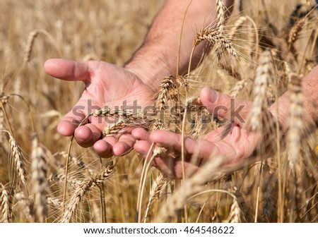 beautiful strong male hands holding ripe ears of wheat and rye on the background field with ears.