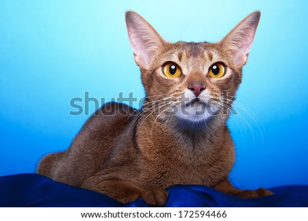 Beautiful stylish Abyssinian cat. Animal portrait. Abyssinian cat is lying. Blue background. Colorful decorations. Collection of funny animals - stock photo