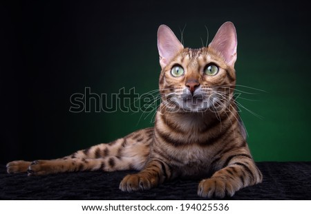 Beautiful stylish Bengal cat. Animal portrait. Bengal cat is lying. Green background. Collection of funny animals - stock photo