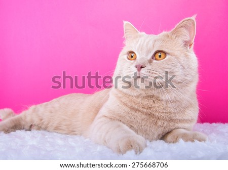 Beautiful stylish purebred british cat. Animal portrait. Purebred cat is lying. Pink background. Colorful decorations. Collection of funny animals