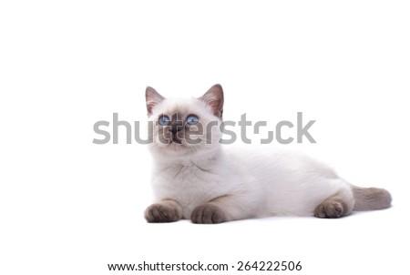 Beautiful stylish purebred british cat. Animal portrait. Purebred cat is lying. White background. Isolated - stock photo